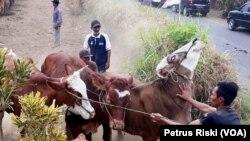 Para peternak Desa Wonoayu, Kabupaten Malang, menggiring kembali ke kandang, ternak sapi miliknya setelah menjalani pemeriksaan kesehatan hewandi lapangan desa tersebut. (Foto: VOA/Petrus)