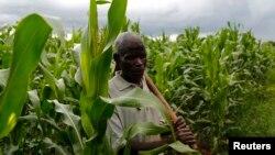 Subsistence farmer Nelson Sikanawawe walks through his field of maize after late rains near the capital Lilongwe, Malawi, Feb. 1, 2016.