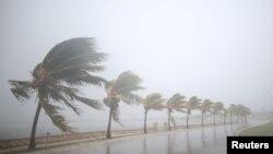 Des palmiers secoués par une tempête avant le passage de l'ouragan Irma à Caibarien, Cuba, le 8 septembre 2017.