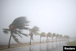 狂风吹袭古巴棕榈树(2017年9月8日)