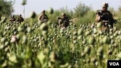 Pasukan NATO melewati ladang opium di Afghanistan.