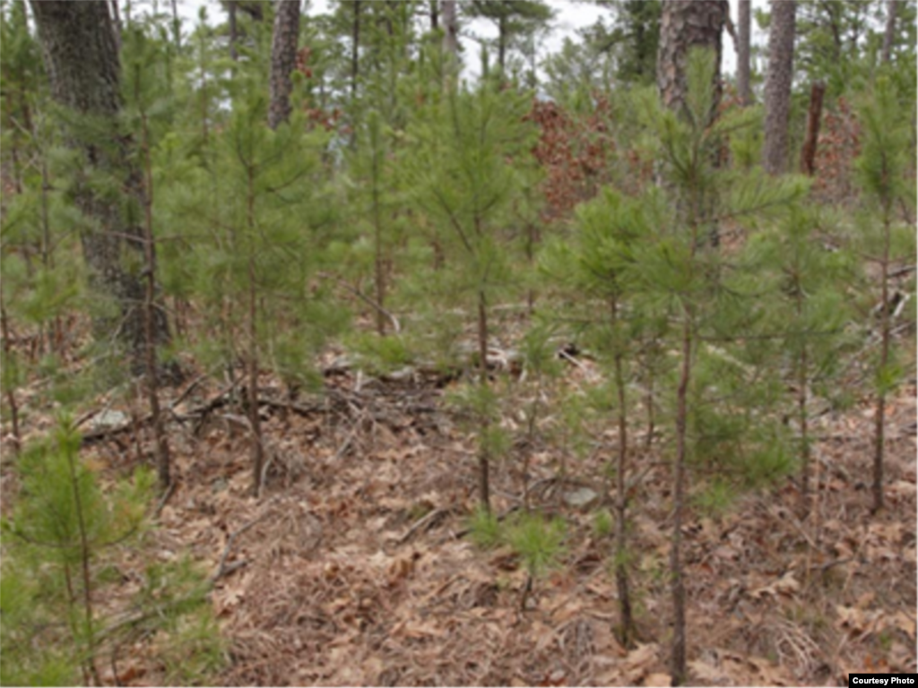 This pine forest has too many young shrubs and trees, which would allow fire to burn hot and high enough to kill many of the more mature trees. (National Interagency Fire Center)