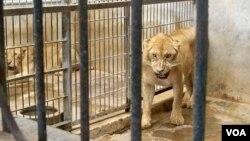 Salah satu kandang singa di Kebun Binatang Surabaya (KBS), 9 Januari 2014 (Foto: VOA/Petrus Riski)