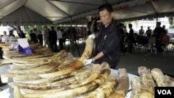 Petugas bea cukai Thailand menyita dua ton gading gajah selundupan asal Afrika di pelabuhan Bangkok, Jumat (1/4).