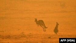 Wutar Daji A Australia