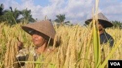 Petani di Bali sedang panen. (Foto: Dok)