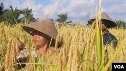 Dua orang petani di Bali memanen padi. (Foto: Dok)