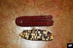 Haigh says his naturally grown indigenous maize is far healthier to eat than mass produced corn