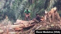 Cada dia 2.500 homens abatem indiscriminadamente centenas de árvores