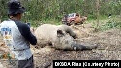 Gajah Sumatera betina ditemukan mati membusuk di dalam kawasan hutan tanaman industri, Kabupaten Bengkalis, Riau. Jumat, 7 Februari 2020. (Foto: BKSDA Riau)
