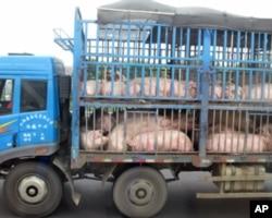 今年第三季度中国生猪价格同比增长50.7%(资料照片,摄于2011年9月)