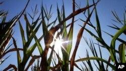 美国中部农业地带玉米正经受空前干旱热浪的考验
