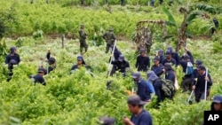 FILE - Police stand guard as farmers hired to uproot coca shrubs work as part of a manual eradication program in San Miguel, Colombia.