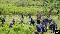 Policías montan guardia mientras agricultures contratados trabajan para erradicar plantaciones de coca en San Miguel, Colombia.