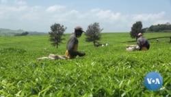 Job Losses Loom in Kenya's Tea Industry as Workers Compete with Machines