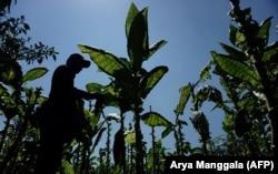 Seorang petani memanen daun tembakau di Temanggung, Jawa Tengah, 22 Agustus 2020. (Foto: Arya Manggala/AFP)