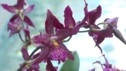 Orchids Bloom in DC Exhibit