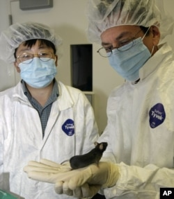 FILE - Researchers Ronald Evans, right, and Yongxu Wang of the Salk Institute for Biological Studies in San Diego look at a mouse whose stamina was improved through genetic engineering in August 2004. Such a capability moves the issue of Olympic doping from drugs to actual genetic manipulation.
