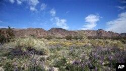 캘리포니아 주 남동부, 로스엔젤레스 동쪽 'Palm Springs' 지역 인근 'Joshua Tree National Park (여호수아 나무 국립공원)'