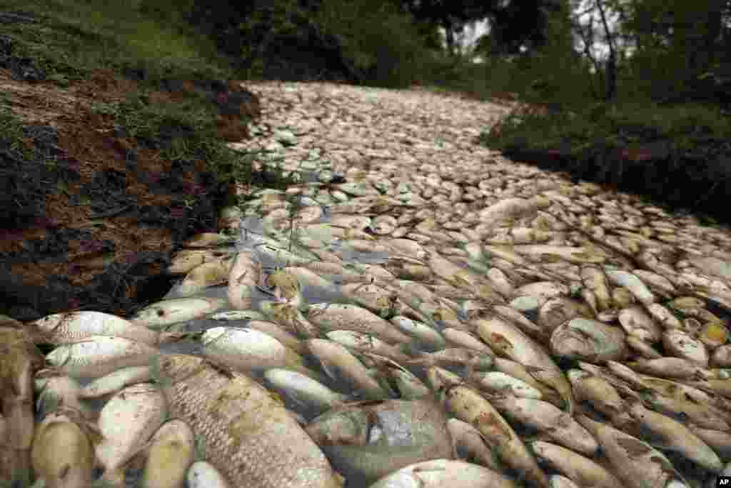 Dead fish float in the Confuso river near Villa Hayes, Paraguay, 30 kilometers north of the capital Asuncion, Oct. 14, 2017.