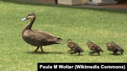 Duck & Ducklings out for a Morning Walk, Hervey Bay Australia