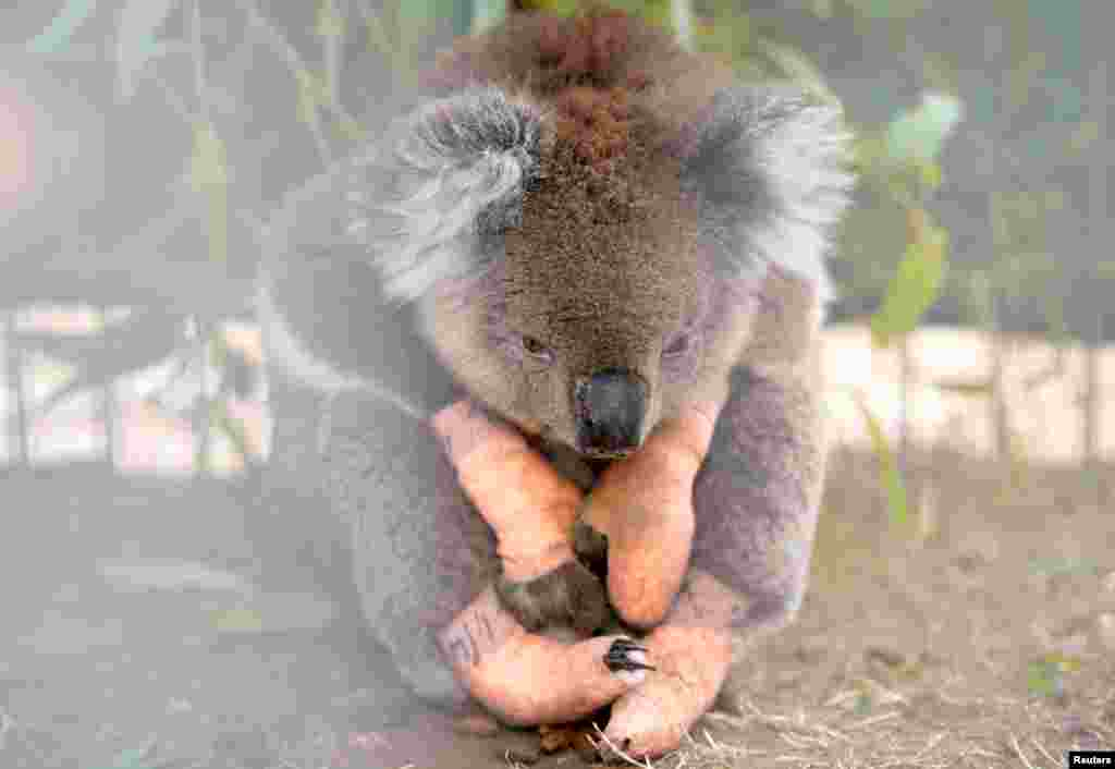An injured koala sits at the Kangaroo Island Wildlife Park, at the Wildlife Emergency Response Centre in Parndana, Kangaroo Island, Australia.