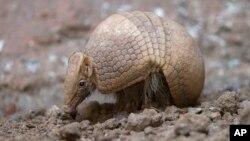 Este armadillo de Brasil es uno de los animales en peligro de extinción