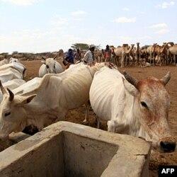 Keniya va Somalida qurg'oqchilik sabab atrof-muhit va chorvaga katta zarar yetdi