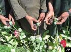 U.S. agriculture aid will offer Afghan farmers alternatives to illegal opium poppies.