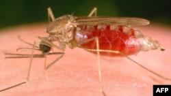 Muỗi cái Anophele truyền bệnh sốt rét từ người này sang người khác