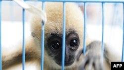 Một con vượn má trắng 3 tháng tuổi trong lồng sau khi cảnh sát bắt giữ Noor Mahmood hồi tháng 5 tại phi trường Suvarnabhumi ở Bangkok