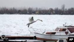 Labud iznad marine na zaleđenom rukavcu Dunava u Zemunu, kraj Beograda (AP Photo/Darko Vojinovic)