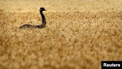 一只鸸鹋走过澳大利亚布里斯班以西的一片小麦田。澳大利亚国旗上的鸟就是鸸鹋,也被称作澳大利亚鸵鸟。(2011年10月28日)