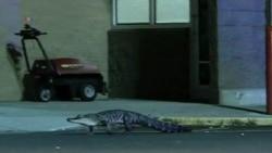 Cocodrilo visita una tienda en Florida