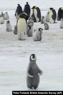 Emperor Penguin chicks at Antarctica's Halley Bay