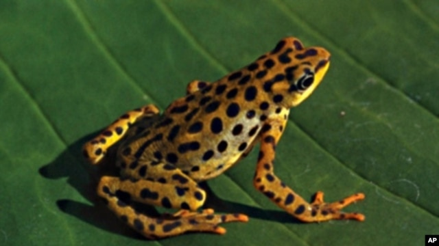 The Rio Pescado Stubfoot toad was most likely a victim of the fungus, Chytridiomycosis.