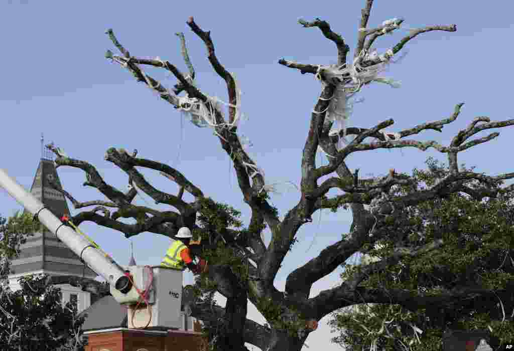 City workers cut down the poisoned oak trees at Toomer's Corner at the entrance to Auburn University in Auburn, Alabama. Harvey Updyke Jr. is serving a jail term after pleading guilty to spiking the oaks with a powerful herbicide, and experts say they can't be saved.
