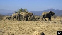 Voi ở khu bảo tồn Samburu National Reserve, Kenya
