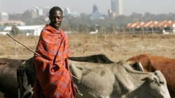 A Maasai man herds his cattle for grazing on the edge of Nairobi National Park