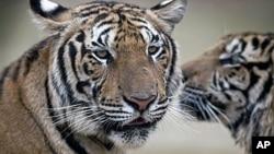 紐約野生動物保護協會估計﹐過去10年全球野生老虎數量不斷下降