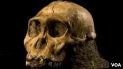 Le crâne d'un jeune Australopithecus sediba, espèce considérée comme un ancêtre du genre Homo, a été découvert dans une grotte de Malapa en Afrique du Sud en 2008.