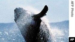 شمالی بحرالکاہل میں ویل مچھلی کی آبادی تقریباََ ختم