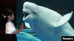 Una ballena blanca reacciona ante una niña visitante en el acuario Sea Paradise en Hakkeijima, Tokyo. Un cetáceo parecido fue capaz de imitar el sonido humano, según saben hoy los investigadores.