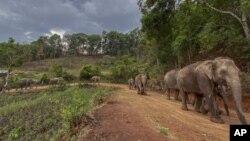 ہاتھی شہروں سے جنگل واپس جا رہے ہیں۔