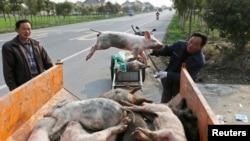 Seorang pekerja tengah memindahkan bangkai babi ke truk di desa Zhulin, Jiaxing, China (12/3). Jumlah bangkai babi yang diangkat dari sungai pemasok air utama di Shanghai sudah mencapai hampir 6,000 ekor.