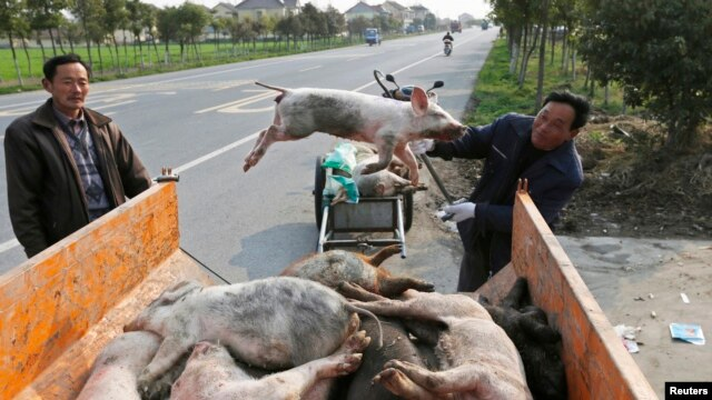 A worker moves a dead pig onto a truck in the Zhulin village of Jiaxing, March 12, 2013.
