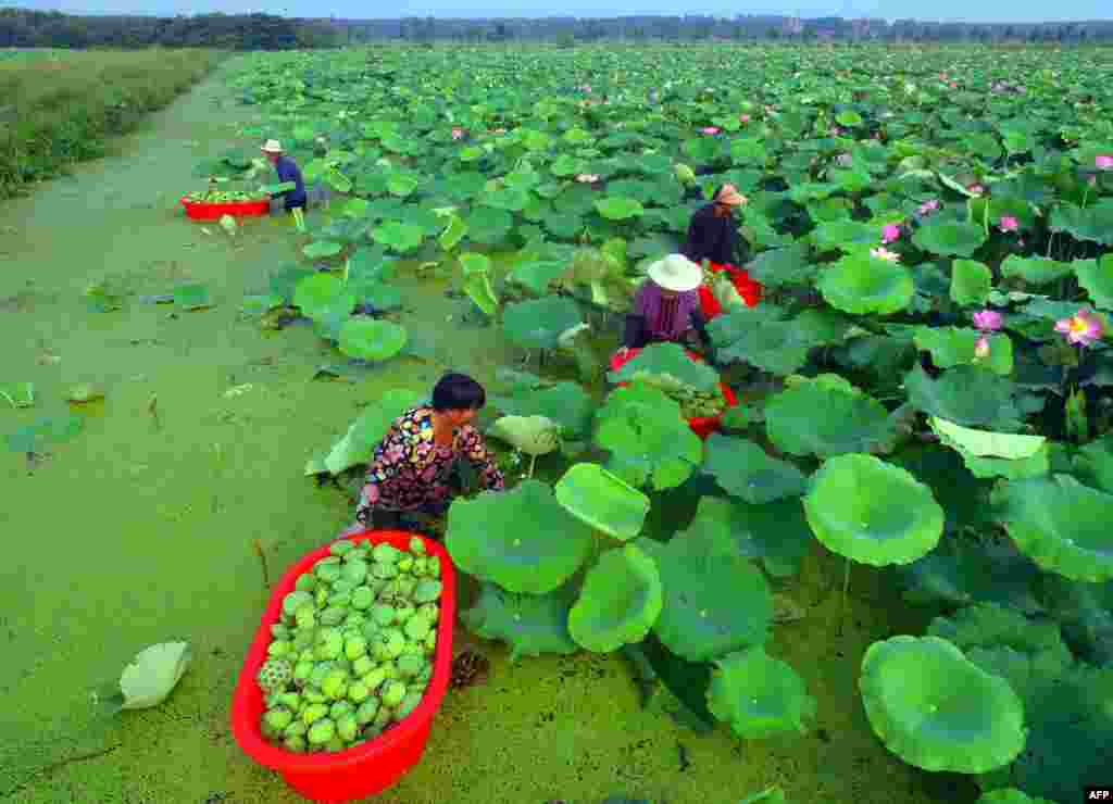 People harvest seed pods from lotus flowers at a pond in Tancheng in China's eastern Shandong province, China, Aug. 1, 2018.