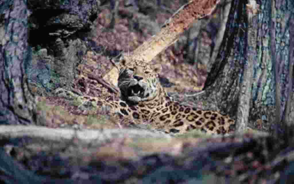 Leopardo Amur.