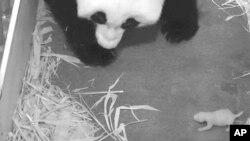 Foto proporcionada por el Zoológico Nacional de Washington en que se muestra a la madre Panda Mei Xiang con su cachorrita.