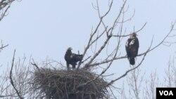 Orlovi krstaši u gnezdu (foto: Jozef Lukaš, Društvo za zaštitu i proučavanje ptica Srbije)